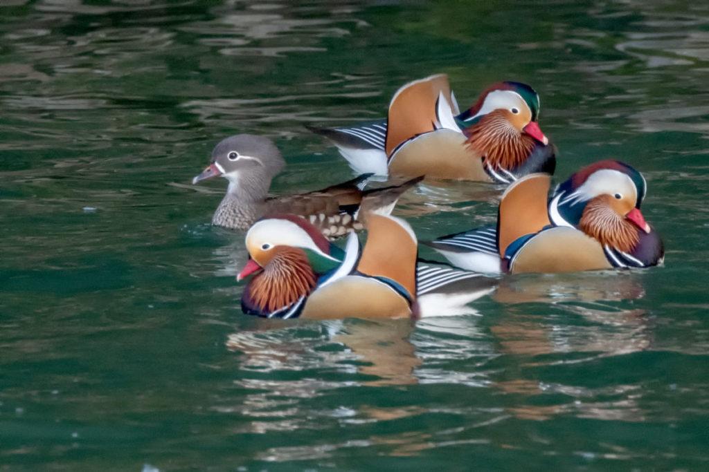 野鳥のオシドリ 写真撮影